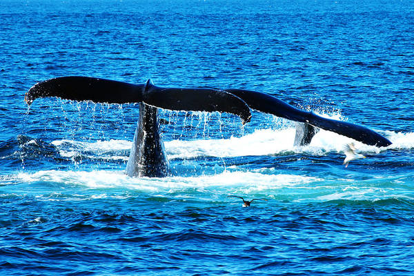 Couple Art Print featuring the photograph Two Whale Tails by Paul Ge