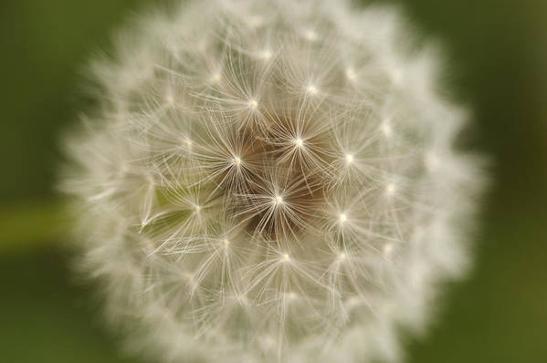 Horizontal Art Print featuring the photograph Usa, Pennsylvania, Close-up View Of Dandelion by Calysta Images