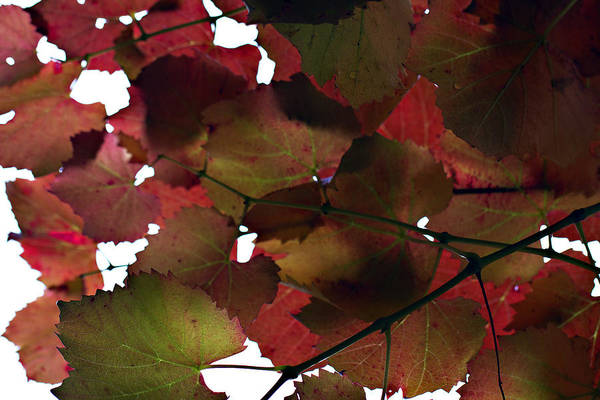 Vine Leaves Art Print featuring the photograph Vine Leaves by Douglas Barnard