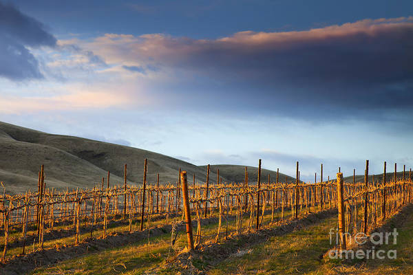 Vineyard Art Print featuring the photograph Vineyard Storm by Mike Dawson