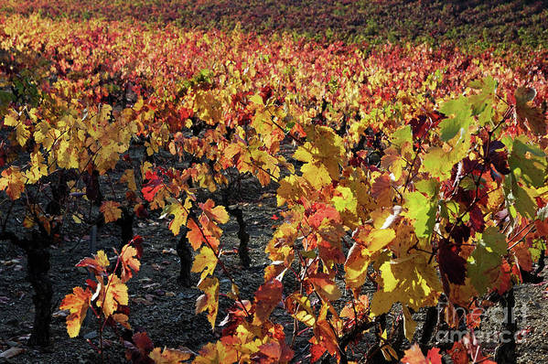 Growth Art Print featuring the photograph Vineyards At Fall by Sami Sarkis