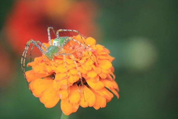 Spider Art Print featuring the photograph Waiting by Amy Marinelli