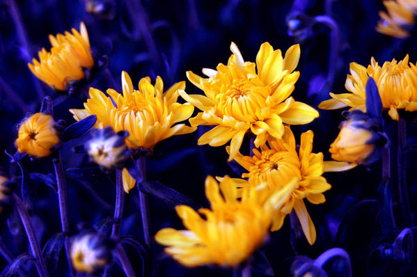 Flowers Art Print featuring the photograph Warm Yellow In A Sea Of Blue by Julian Garza