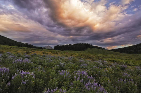 Lupines Art Print featuring the photograph Washington Gulch Flowers by Joseph Rossbach
