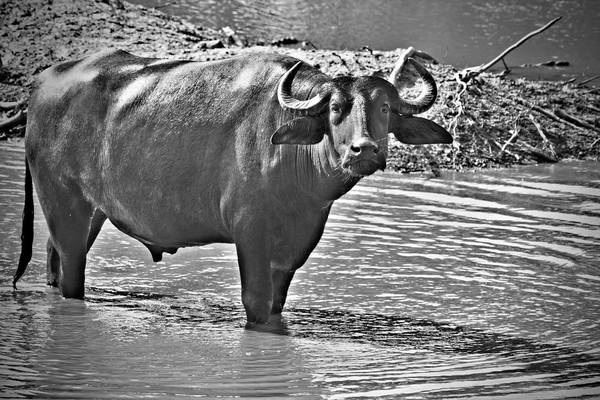 Water Buffalo In Black And White Art Print featuring the photograph Water Buffalo In Black And White by Douglas Barnard