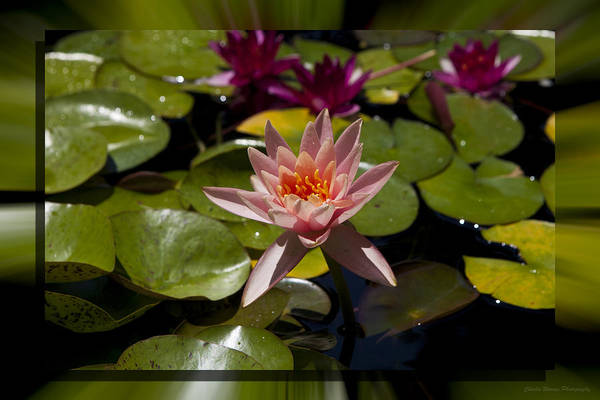 Water Lilly Art Print featuring the photograph Water Lilly 6 by Charles Warren