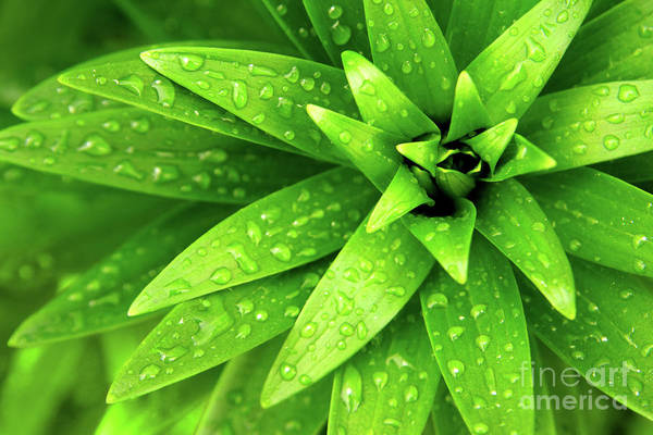 Blades Print featuring the photograph Wet Foliage by Carlos Caetano