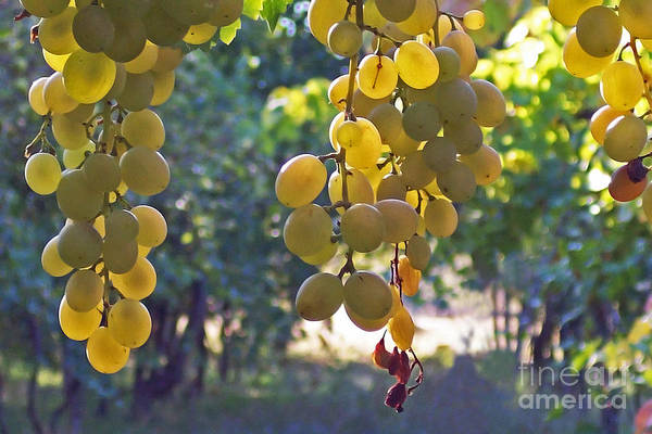 Grapes Print featuring the photograph White Grapes by Barbara McMahon