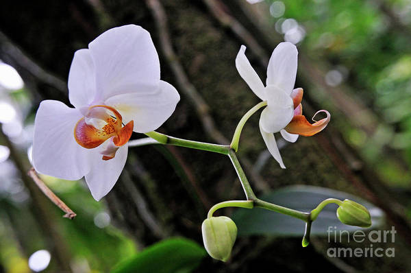 Freshness Art Print featuring the photograph White Orchids by Sami Sarkis
