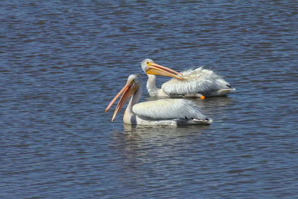 White Pelicans Art Print featuring the photograph White Pelican by Rod Giffels