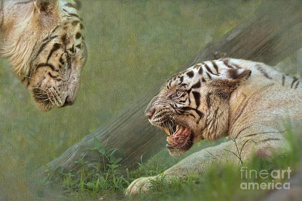 White Art Print featuring the photograph White Tiger Growling At Her Mate by Louise Heusinkveld