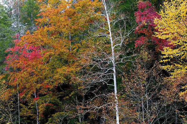 Fall Colors Art Print featuring the photograph White Tree Fall Colors by Rich Franco