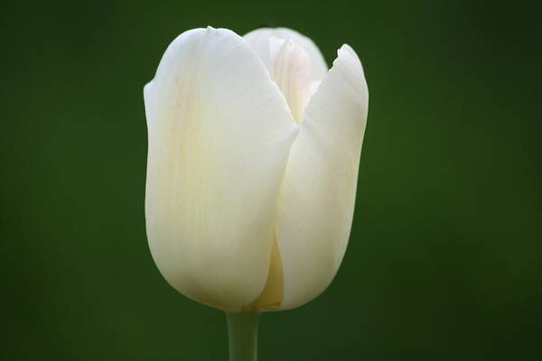 White Art Print featuring the photograph White Tulip by Jill DeSousa