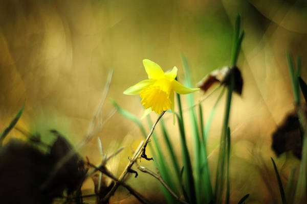Narcissus Art Print featuring the photograph Woodland Narcissus by Rebecca Sherman