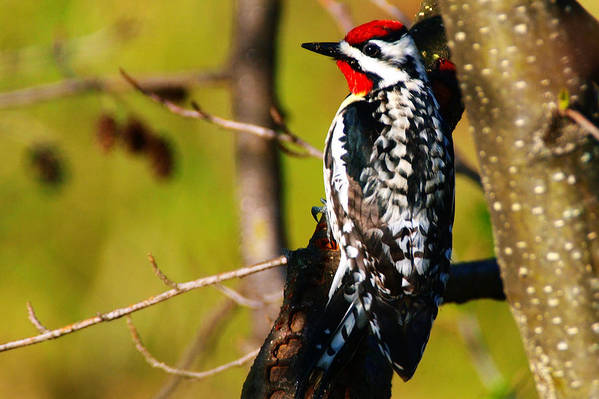Woodpecker Art Print featuring the photograph Woodpecker by Paul Ge
