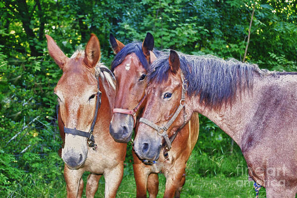 Horses Art Print featuring the photograph Work Horse Trio by TommyJohn PhotoImagery LLC