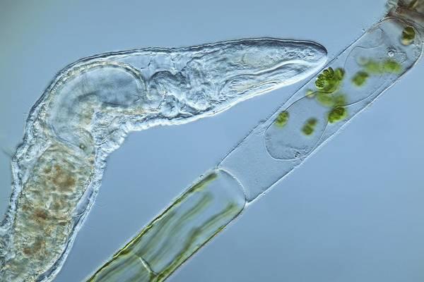 Algae Art Print featuring the photograph Worm Feeding On Algae, Light Micrograph by Frank Fox
