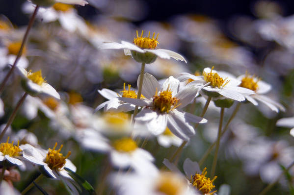 Floral Art Print featuring the photograph Yellow And White by Julian Garza