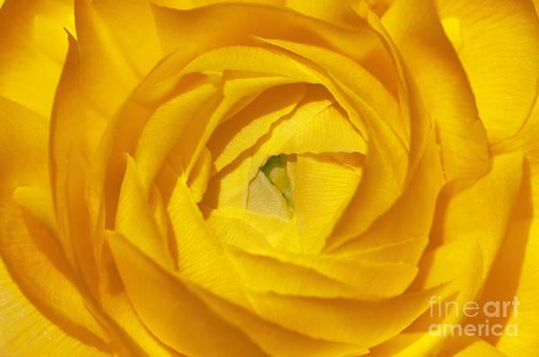 Sandra Bronstein Art Print featuring the photograph Yellow Beauty by Sandra Bronstein
