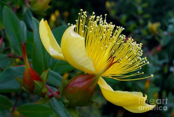 Yellow bush flower art print by kaye menner photography art print featuring the photograph yellow bush flower by kaye menner mightylinksfo