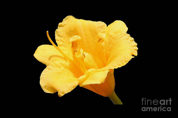 Flower Art Print featuring the photograph Yellow Day Lily On Black by Michael Waters