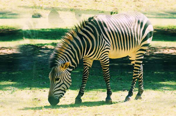 Wildlife Art Print featuring the photograph Zebra by Jaqueline Briel
