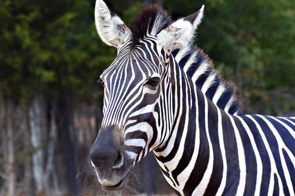Zebra Art Print featuring the photograph Zebra Symmetry by Douglas Barnard