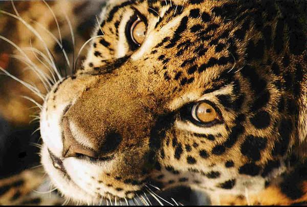 Jaguar Face. Art Print featuring the photograph       Waiting by Leandro Sebastian  Marquez