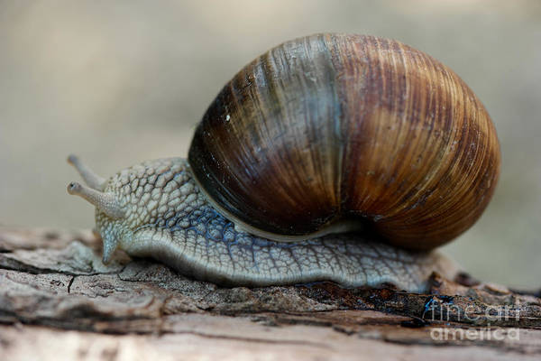 Escargot Burgundy Snail Art Print featuring the photograph Burgundy Snail by Brothers Beerens