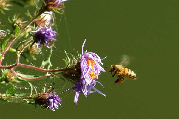 Bee Art Print featuring the photograph 091409-122 by Mike Davis