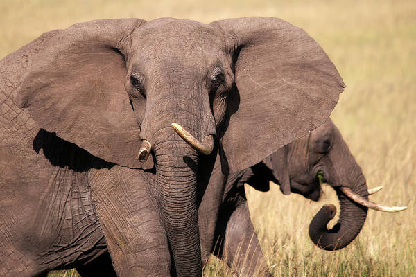 Elephant Art Print featuring the photograph 1-elephant by Michel Legare