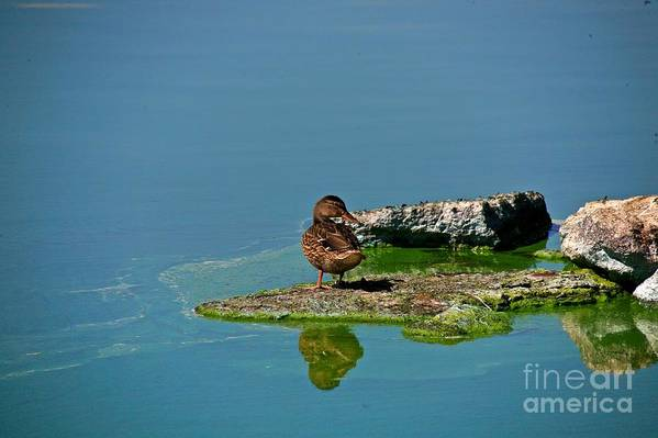 Duck Art Print featuring the photograph Alone by Robert Pearson