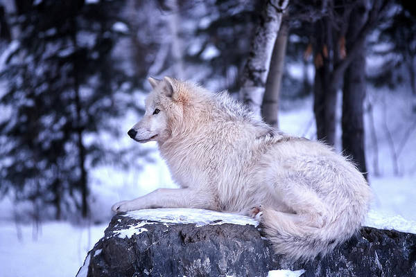Wolf Art Print featuring the photograph Arctic Wolf by Bill Morgenstern