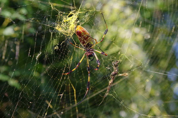 Golden Art Print featuring the photograph Banana Spider by Aaron Rushin