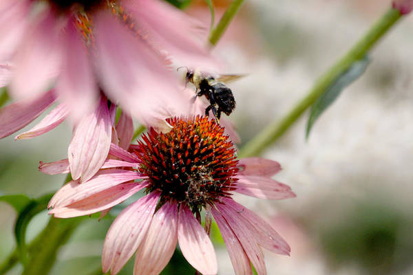 Bee Art Print featuring the photograph Bee Leaving Flower by Lita Kishbaugh