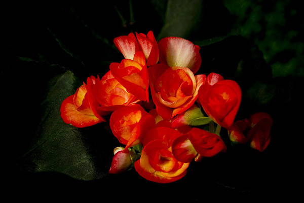 Begonia Art Print featuring the photograph Begonias by John Ater