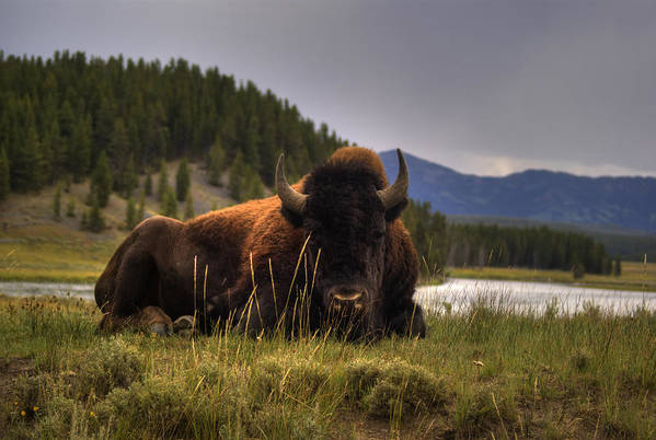 Bison Art Print featuring the photograph Bison by Patrick Flynn