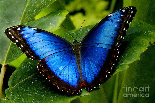 Butterfly Art Print featuring the photograph Blue Morpho by Neil Doren