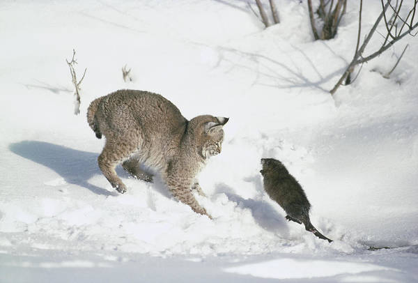 Mp Art Print featuring the photograph Bobcat Lynx Rufus Hunting Muskrat by Michael Quinton
