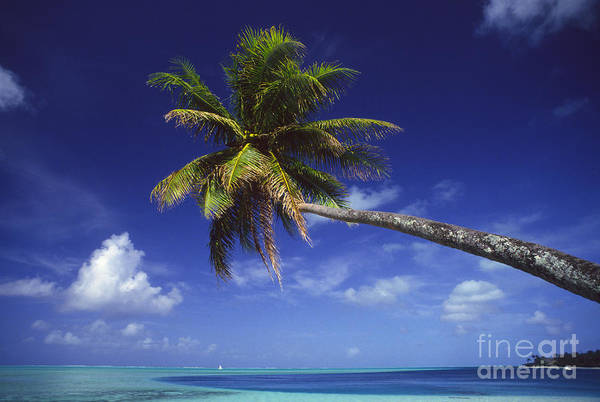 Beach Art Print featuring the photograph Bora Bora, Palm Tree by Ron Dahlquist - Printscapes