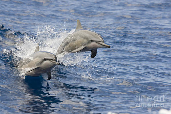 Animal Art Art Print featuring the photograph Dolphins Leaping by Dave Fleetham - Printscapes