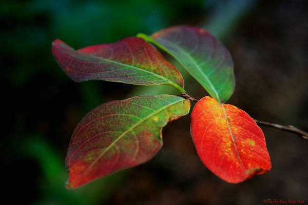 Leaves Art Print featuring the photograph Fall Leaves by Linda Ebarb