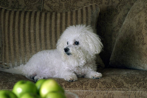 Animal Art Print featuring the photograph Fifi The Bichon Frise by Michael Ledray