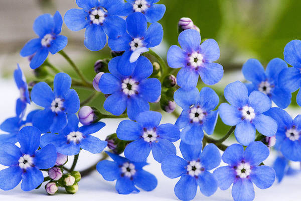 Forget-me-not Art Print featuring the photograph Forget-me-not by Chevy Fleet