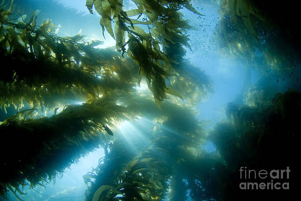 Algae Art Print featuring the photograph Giant Kelp Forest by Dave Fleetham - Printscapes