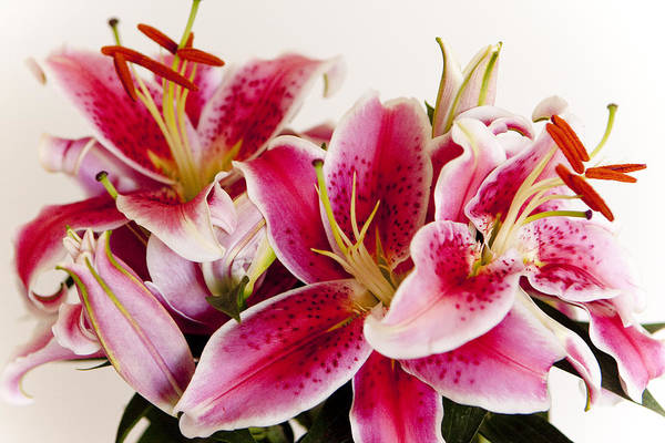 Flora Art Print featuring the photograph Graceful Lily Series 11 by Olga Smith