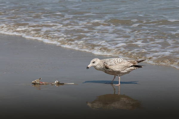 Sea Gull Art Print featuring the photograph Gull With Fish by Christy Pooschke