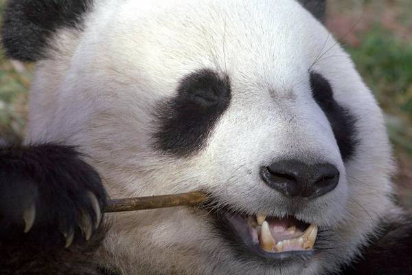 Panda Art Print featuring the photograph Happiness by Mitch Cat