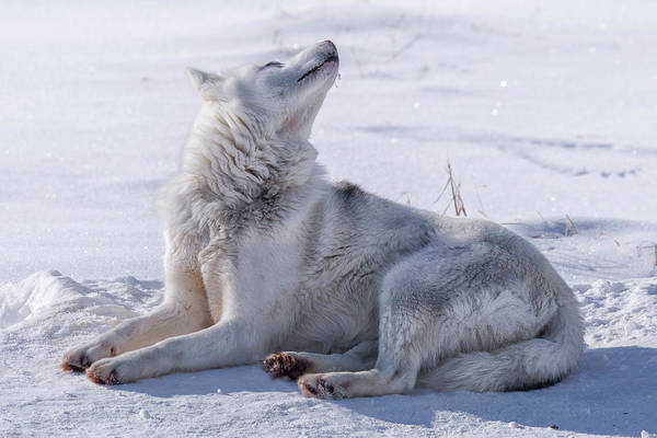 Husky Art Print featuring the photograph Huskies In Ilulissat, Greenland by Joana Kruse