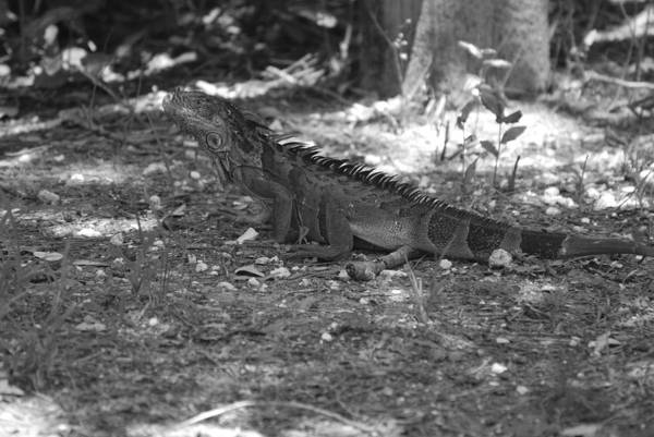 Black And White Art Print featuring the photograph I Iguana by Rob Hans